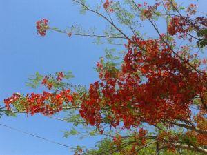 pohon sepei