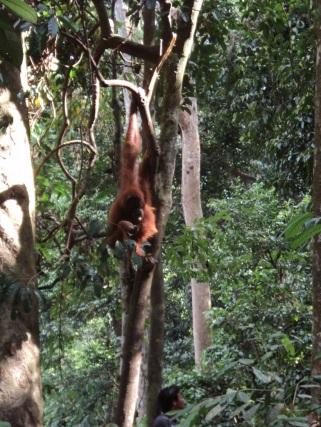 Orang hutan di Taman Lauser