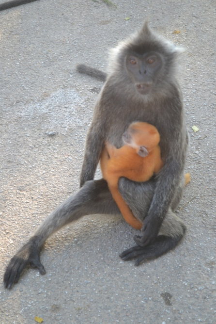 Monyet di Bukit Melawati