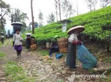 Ibu Pemetik teh Cisarua Bogor
