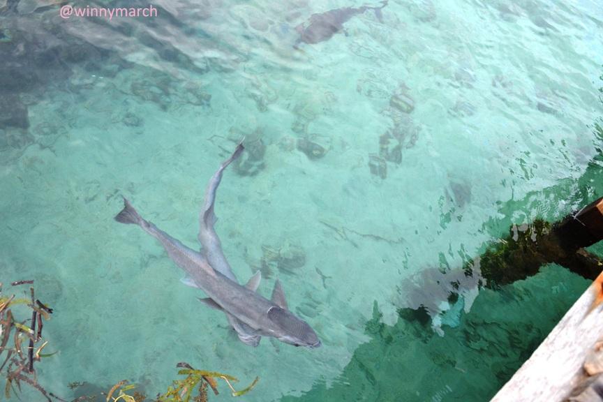 ikan hiu-kepulauan seribu