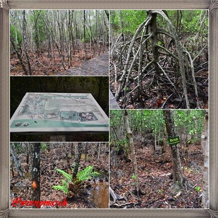 mangrove karimun jawa
