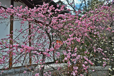 sakura blassom