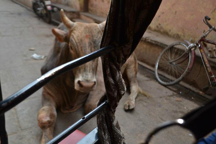 Sapi di Varanasi