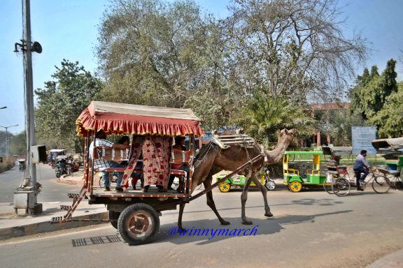 Unta di depan Taj Mahal