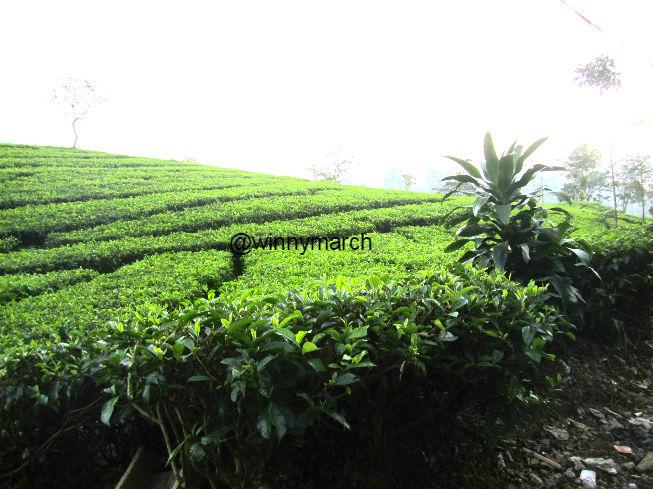 Kebun teh bandung