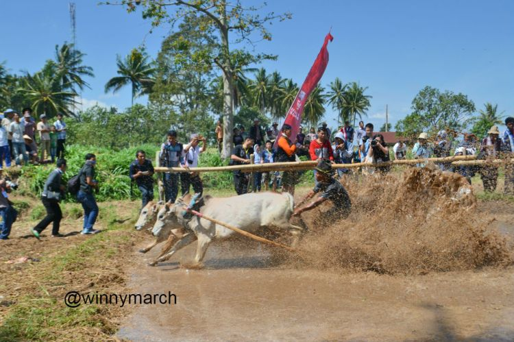 Pacu Jawi Sumatera Barat
