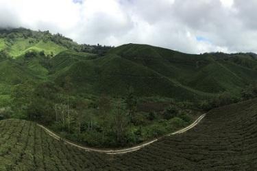 Boh plantation