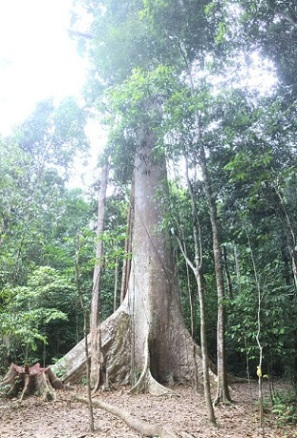 400 years old jungle tree